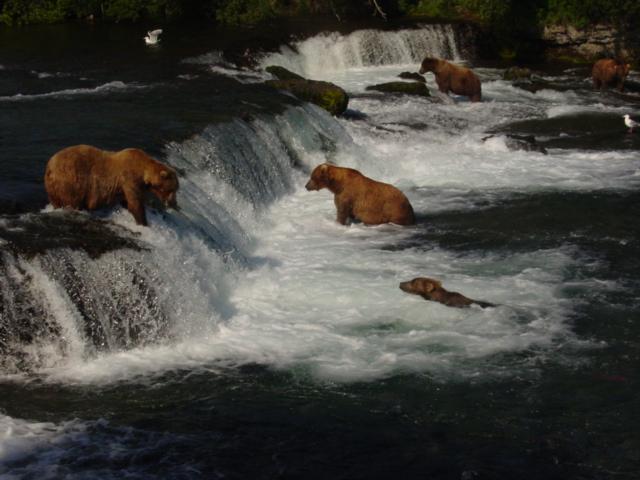 Alaskan Bears - Wild Alaska Salmon And Seafood Company