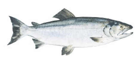 The Difference Between Salmon Species Wild Alaska Salmon And Seafood