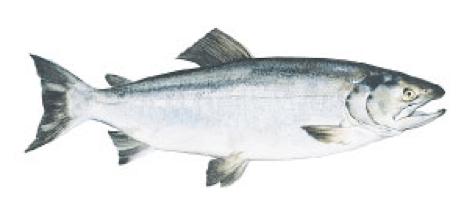 Keta-Salmon
